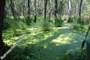 Darßwald
